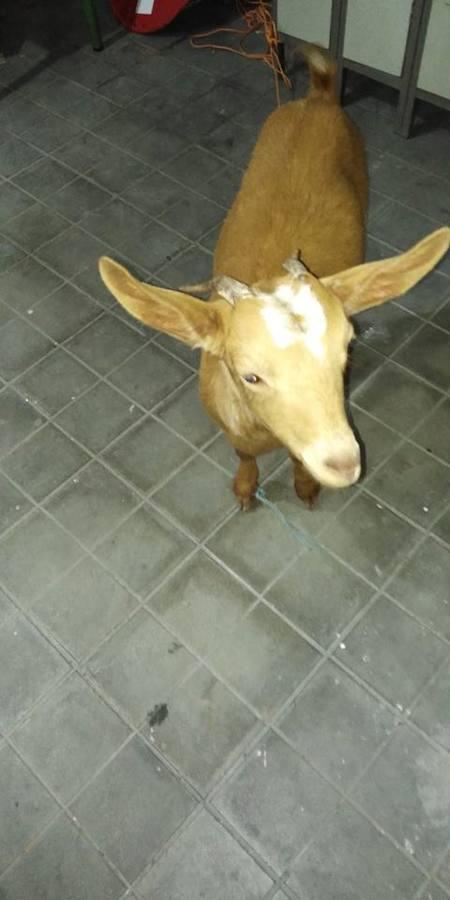 La Policía Local de Íllora hace un llamamiento vecinal para buscar al dueño de una cabra perdida