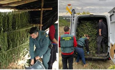 La Guardia Civil ha intervenido casi 5000 plantas de cannabis sativa durante el mes de noviembre