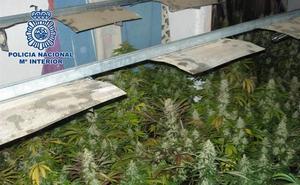 Aprehendidas 379 plantas de marihuana en un cortijo ocupado de Almería