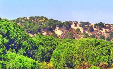 Pinos sin raíces en España