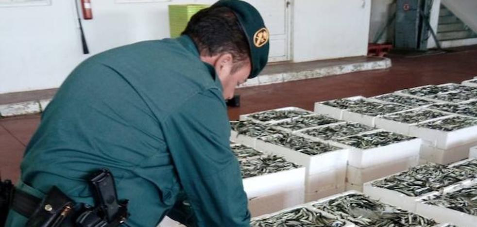 La Guardia civil interviene 2.600 kilos de boquerones inmaduros en la lonja de Motril