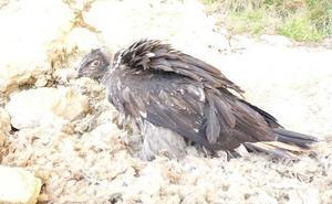 Muere la hembra de quebrantahuesos más veterana del centro de cría de Cazorla tras 45 años de vida