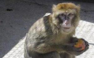 Intenta entrar en el Puerto de Almería con un macaco en el interior de su vehículo