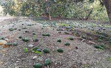El temporal de viento se lleva la mitad de la cosecha de aguacate de la Costa