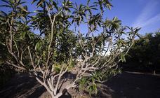 El temporal de viento en la Costa arrasa buena parte de la cosecha