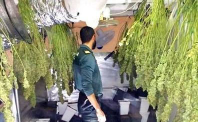 Detenido un joven de 22 años por tener 210 plantas de marihuana en su casa de Jimena