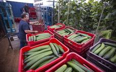 El precio del pepino se desploma y pone en pie de guerra a los agricultores de la Costa
