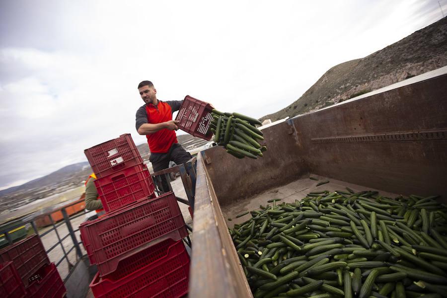 Los agricultores tiran 50.000 kilos de pepino para luchar contra la bajada de precios