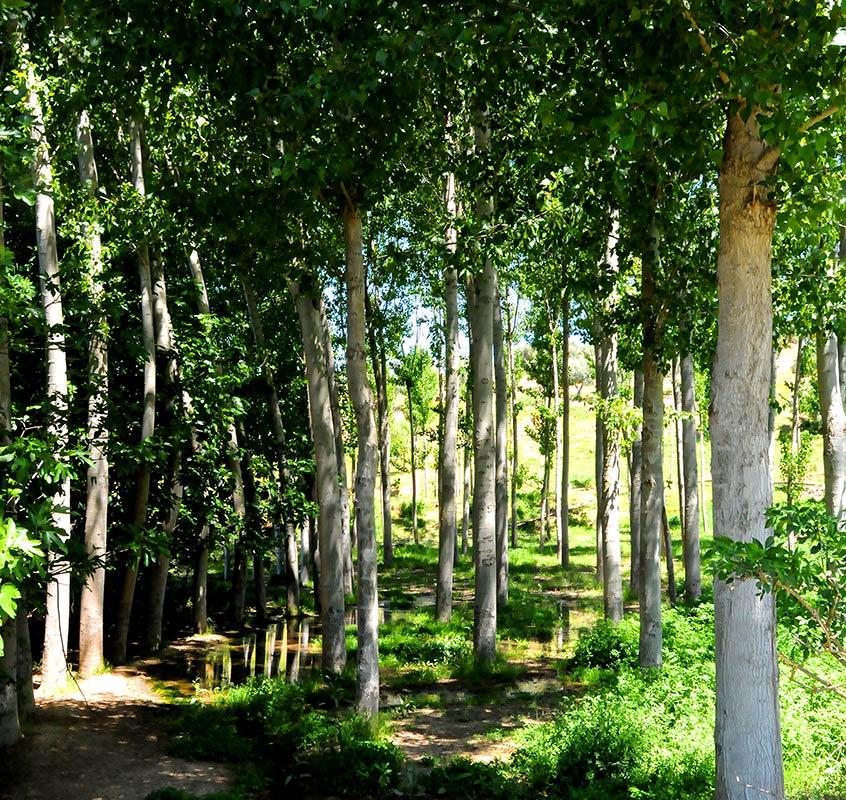 Populus alba, alamedas del sur
