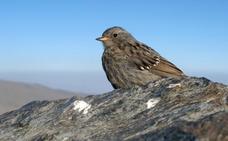Acentor alpino, ave de montaña