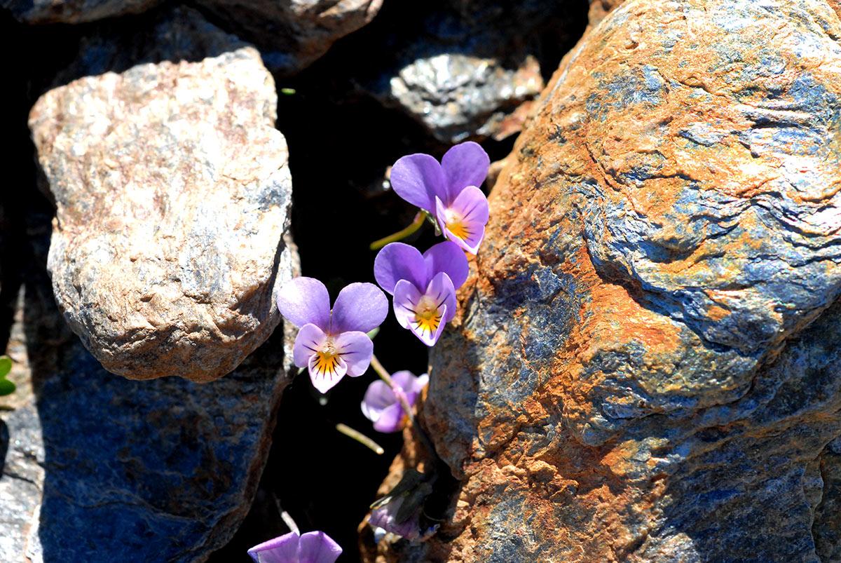 Violeta de Sierra Nevada, joyas nevadenses