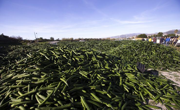 Los agricultores de la Costa han tirado ya 500.000 kilos de pepino