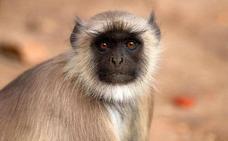 Seis detenidos en Vietnam por comerse a un mono mientras lo transmitían por Facebook