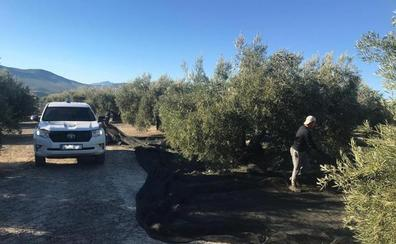 Incautados 1.600 kilos de aceituna robada en Jaén