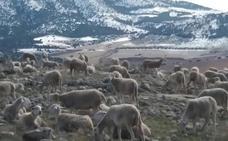 La provincia pierde 50.000 cabezas de ganado ovino en los últimos cinco años