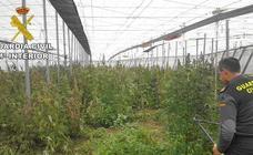 Localizan más de 1.000 plantas de marihuana en un invernadero de Gádor