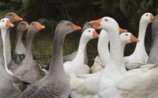 Fin a la batalla del foie gras