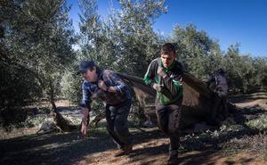 La carencia de mano de obra retrasa la cosecha en las 200.000 hectáreas de olivar granadino