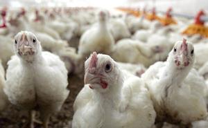Un incendio acaba con la vida de 8.000 pollos en una nave de Vilches (Jaén)