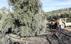 Jaén produce el 35% del aceite aforado con la campaña mediada