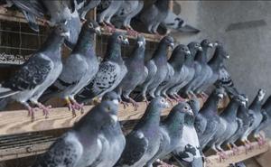 Puede ir cuatro años a la cárcel por robar 20 palomas valoradas en 5.000 euros en Padul