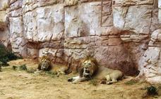 Un grupo de leones matan a un joven que se coló en un zoológico