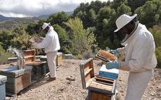 Dos estudiantes de la Universidad de Granada extraen el veneno de las abejas para cosméticos y fármacos