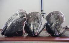 El pescado murciano que los japoneses se llevan en toneladas