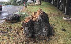 El temporal de viento tira dos árboles y una palmera en la Costa