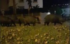 El vídeo viral de una piara de cerdos paseando por Salobreña que triunfa en el whatsapp