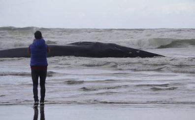 Muere una ballena encontrada en una playa de Vizcaya