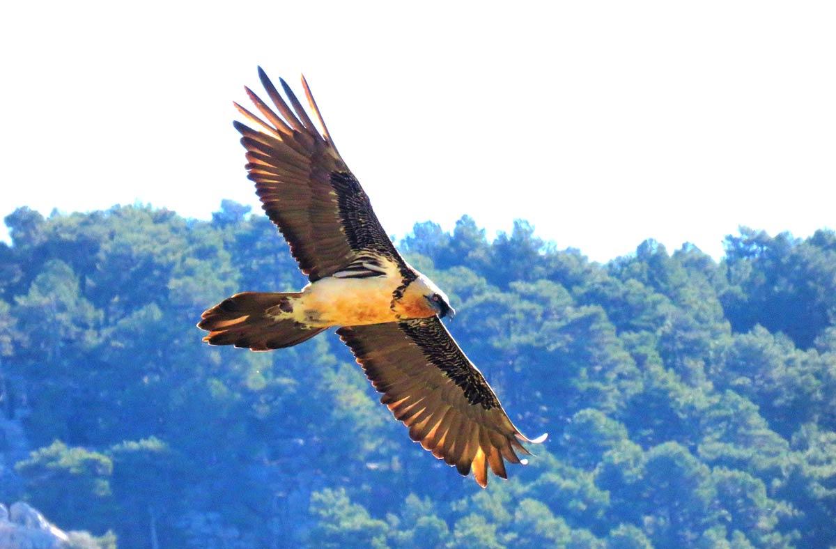 58 quebrantahuesos vuelan en las sierras de Castril y Cazorla