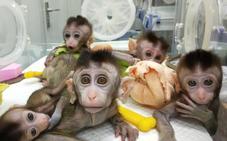 Macacos a los que han vuelto locos