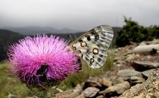 Las mariposas 'toman' las altas cumbres de Granada