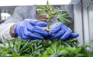Una de cada cuatro plantas de marihuana decomisadas en Andalucía se encontró en Almería