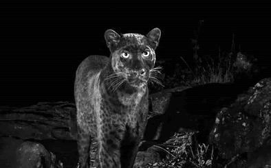 Capturan la fotografía de una pantera nocturna más de cien años después de la última imagen