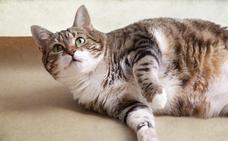 ¿Cómo alimentar a un gato esterilizado?