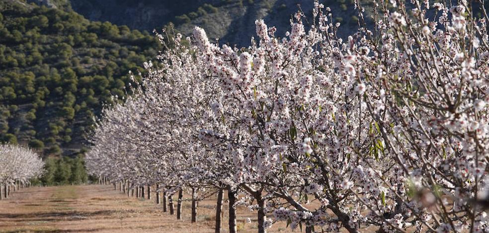 La agricultura se pasa a los almendrales para mantenerse viva
