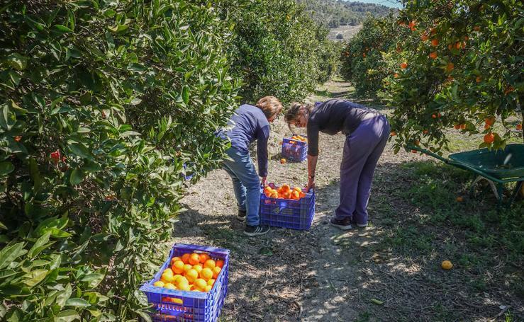 El valor de las naranjas ha descendido un 55%