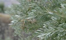 Respiro de lluvia insuficiente para el olivar de secano
