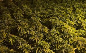 Una detenida en la capital tras incautarle unas 91 plantas de marihuana en una vivienda