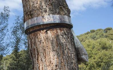 Anillan el bosque de la Alhambra para controlar la expansión de la procesionaria