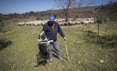Francisco vuelve a la Alhambra con sus 604 ovejas