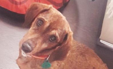 Duque, el perro perdido en Granada que ha llegado hasta Pérez-Reverte y Dani Rovira
