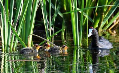 Nuevos polluelos de focha cornuda en Motril alejan el peligro de extinción de esta especie