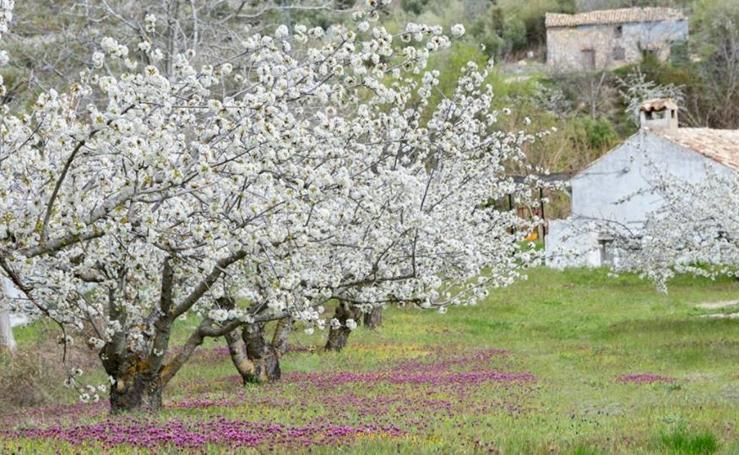 La floración del cerezo en Jaén,una delicia para los sentidos