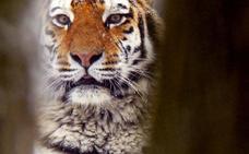 Los hombres tigre