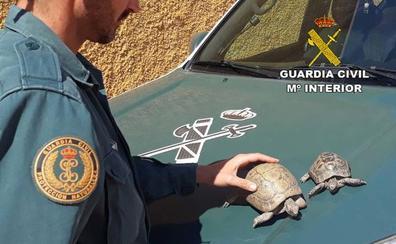 La Guardia Civil encuentra una tortuga mora perdida en Retamar y detiene a su propietaria