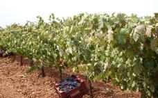 Abierto el plazo para solicitar las ayudas a la reestructuración de viñedo