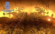 Escondía 260 plantas de marihuana bajo su vivienda de La Cañada